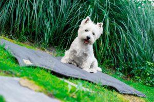 West Terrier